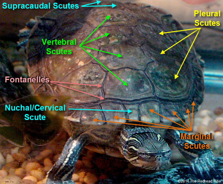 painted turtle shell scutes labeled