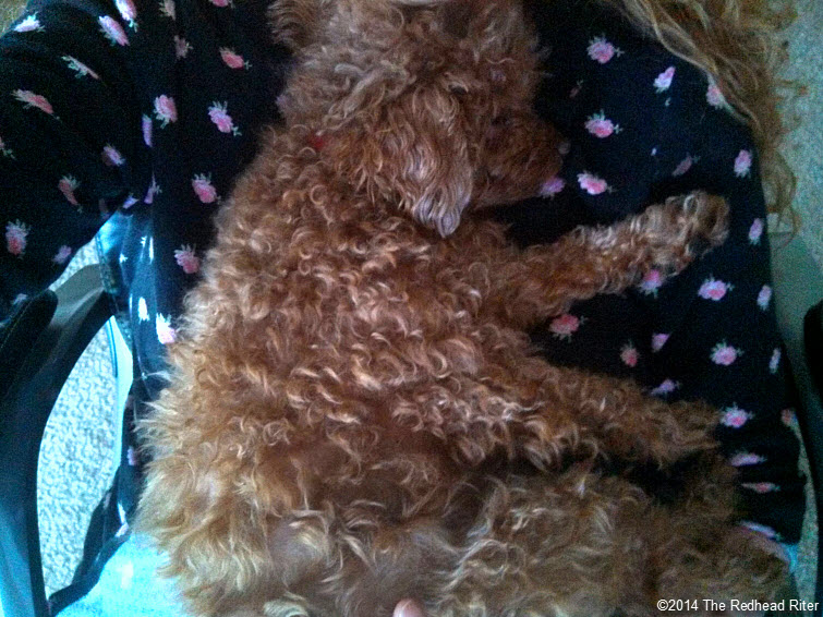red toy poodle asleep on redhead sherry riter