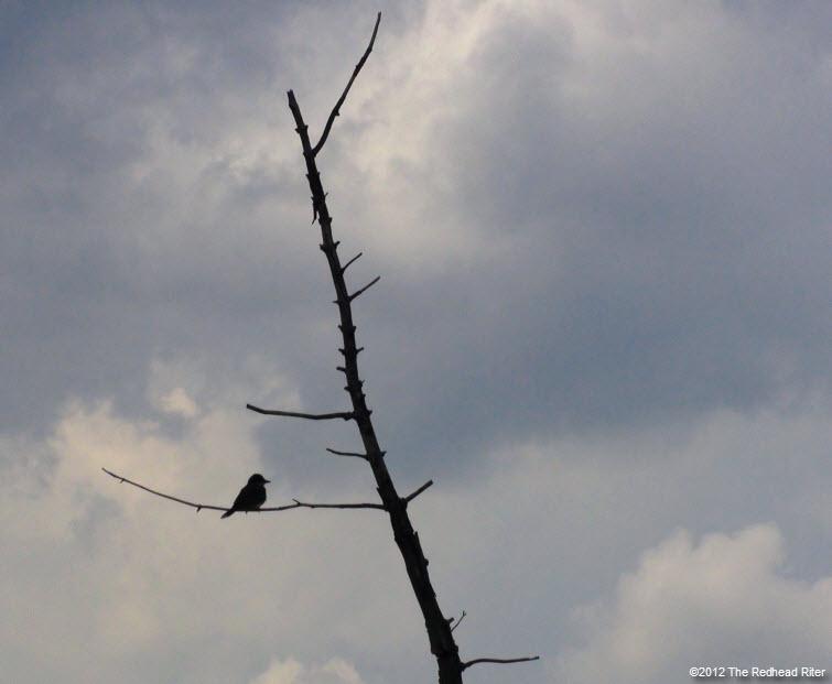 bird on branch white clouds 1