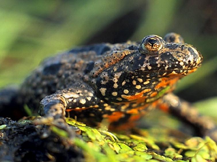 frog spotted black orange tan