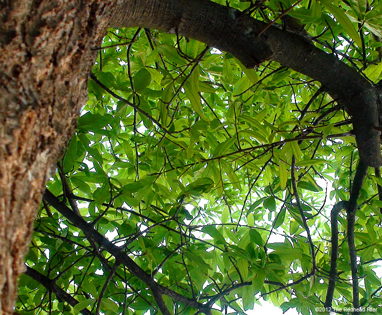 green leaves  rugged bark on tree 10