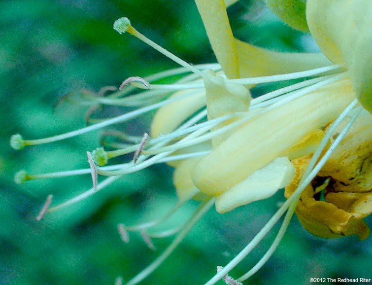 honeysuckles sweet yellow white 4