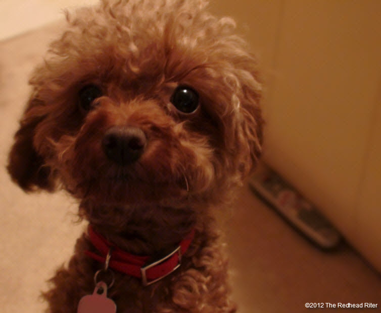 pure bred red toy poodle 1