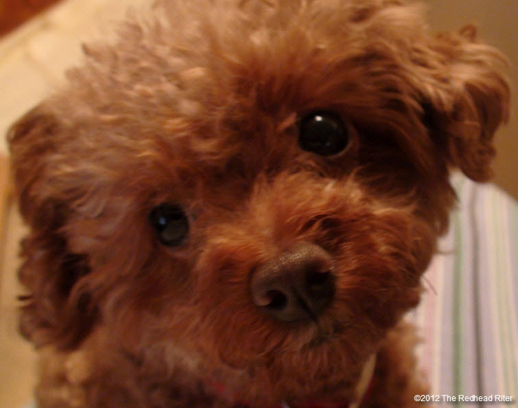 pure bred red toy poodle 4