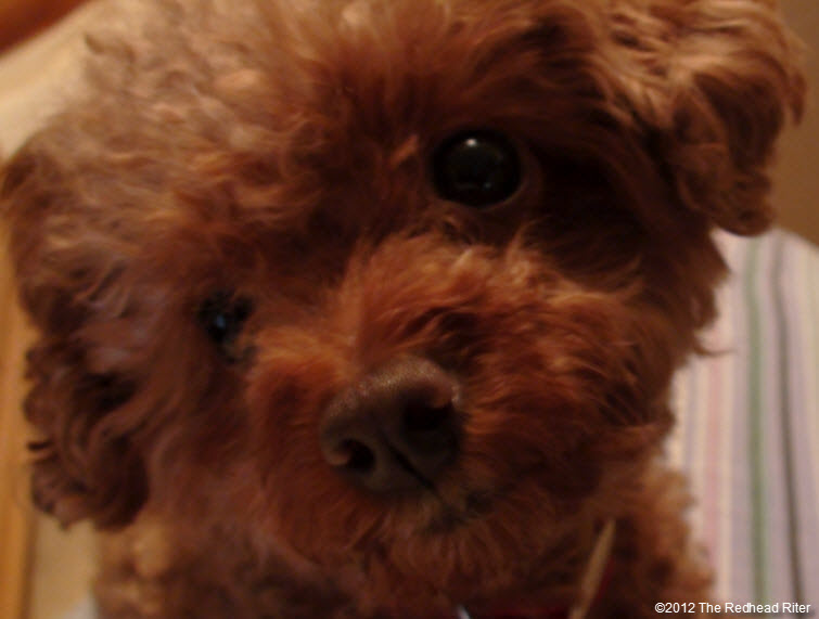 pure bred red toy poodle 5