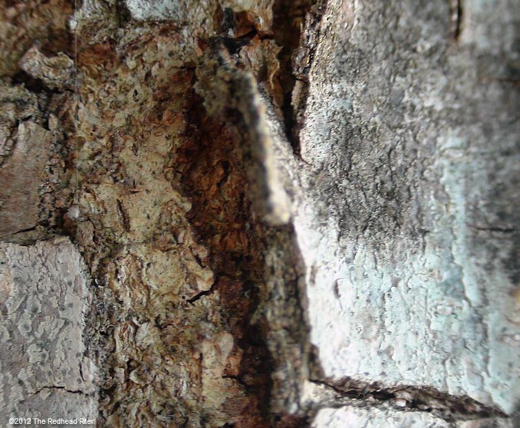 rugged faded bark on tree 12