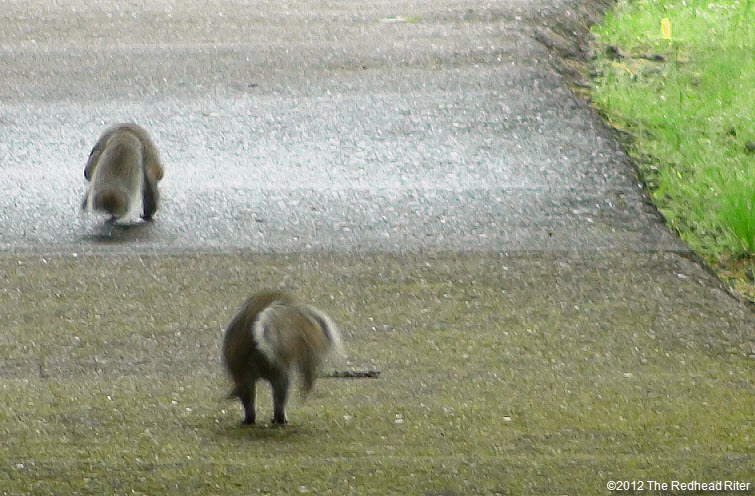 two squirrel s walking on path