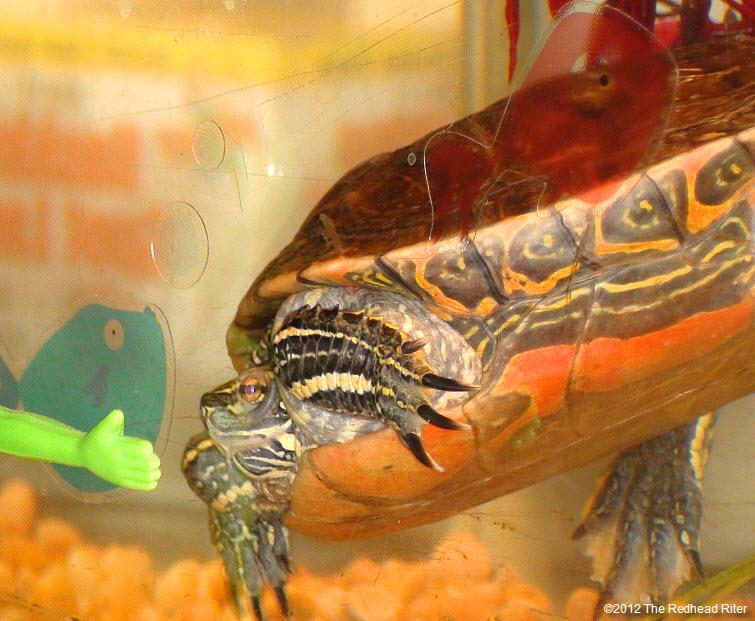 Turtle hiding head in shell