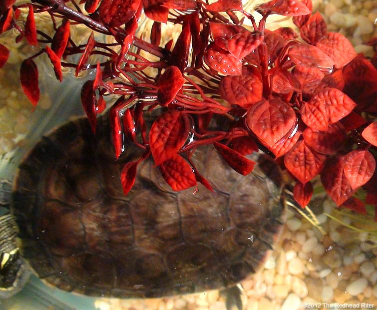 Turtles brown shell is clean