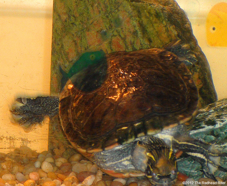 Turtles golden shell like freckles
