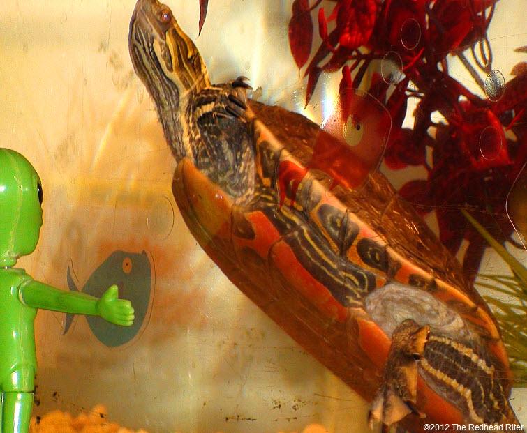 orange tummy on painted turtle floating
