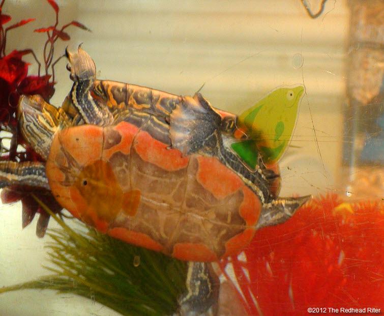 orange tummy on painted turtle swimming