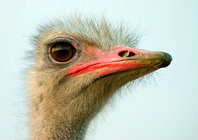 ostrich head pink beak big eye