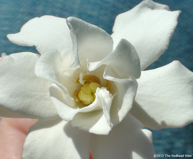 virginia white miniature gardenia flower 2