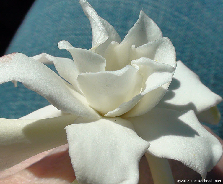 virginia white miniature gardenia flower 4