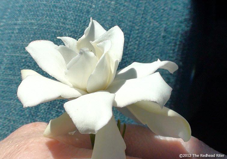virginia white miniature gardenia flower 7