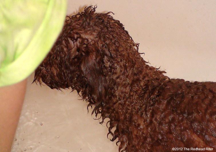 Bella red poodle bathtub bathing 3