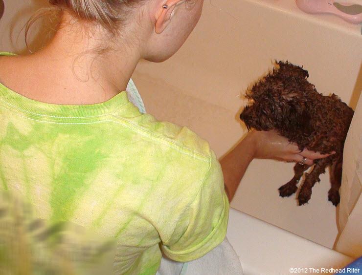 Bella red poodle bathtub bathing 7