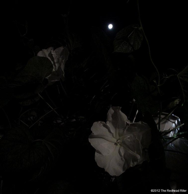 Moonflowers Glow In Moonlight 2
