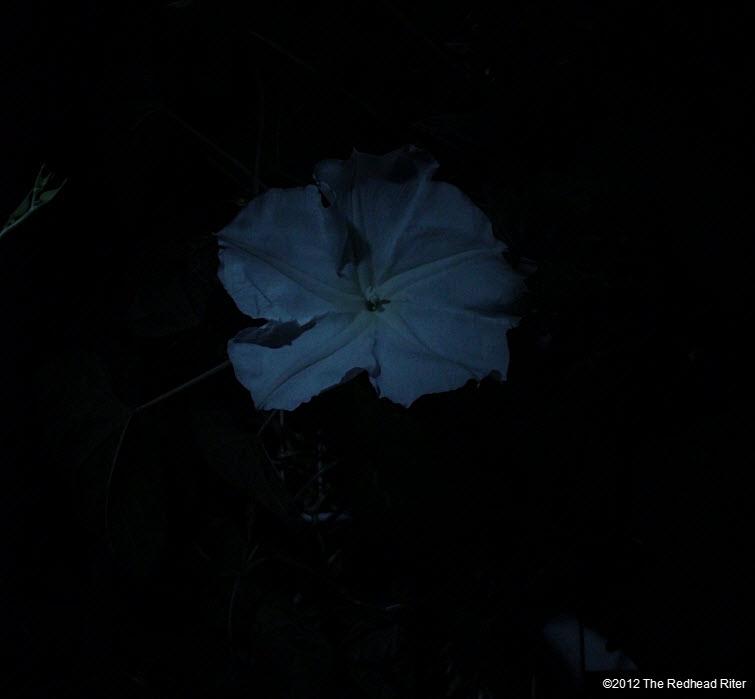 Moonflowers Glow In The Dark 4
