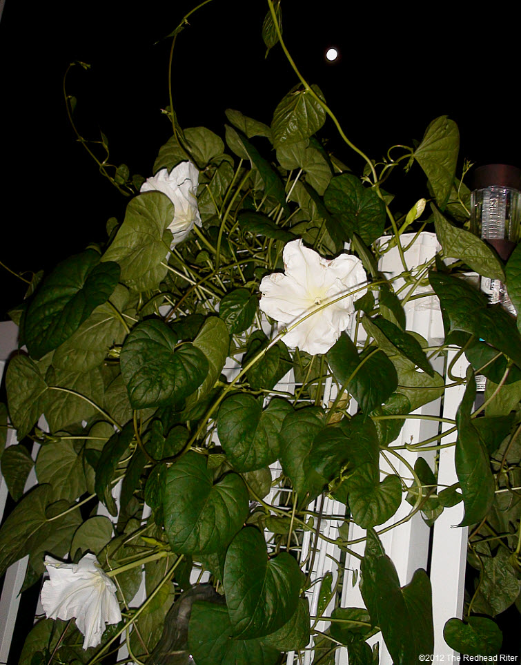The Moonflower grows on vines 3