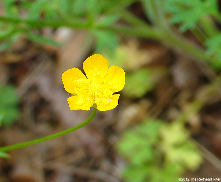 bright yellow buttercup 5 petals