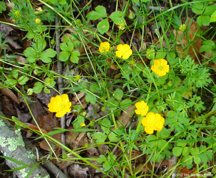 patch of tiny yellow buttercups