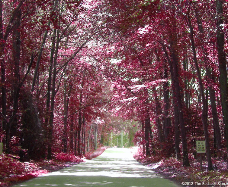 country road red tree perspective
