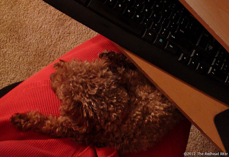 small red poodle lap dog