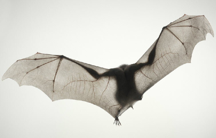 Tim Flach Photography bat big wings