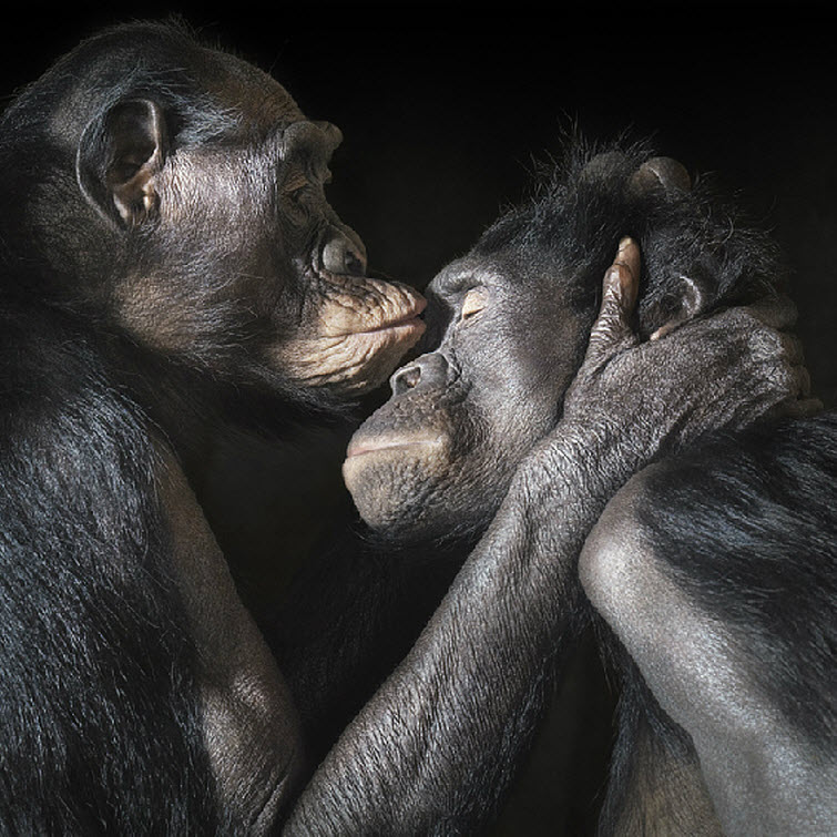 Tim Flach Photography chimpanzee kissing