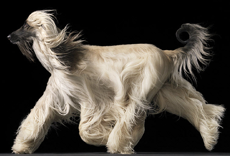Tim Flach Photography dog long flowing hair