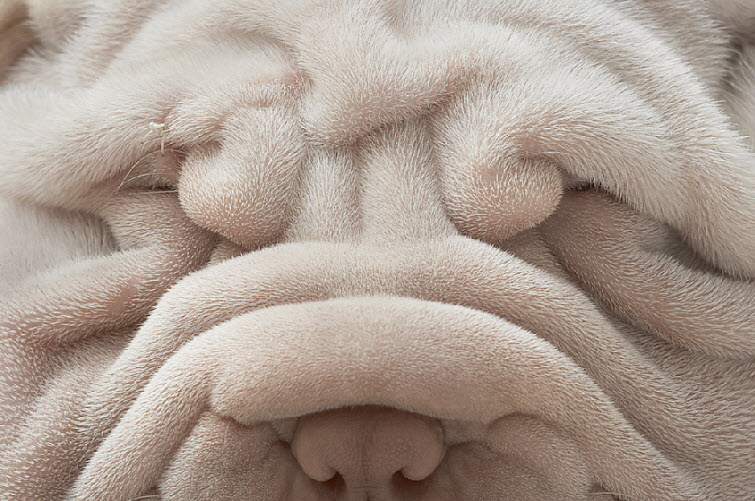 Tim Flach Photography wrinkle dog