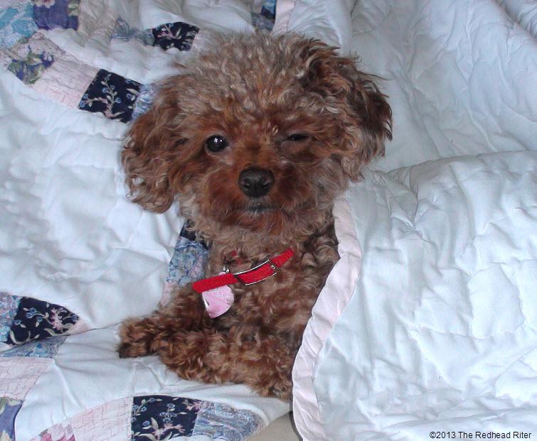Bella Red Toy Poodle Wink