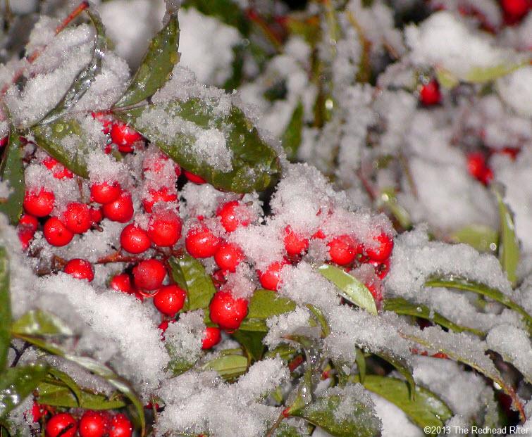 snow red berries ice