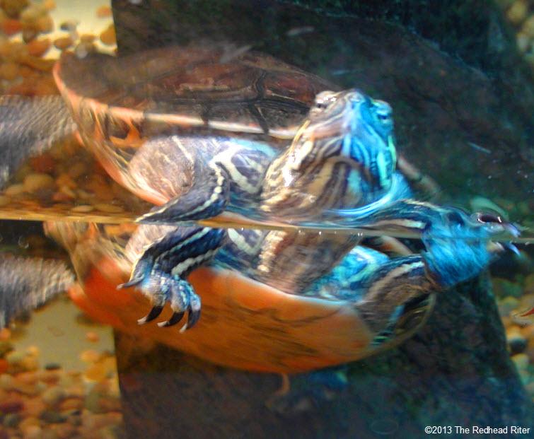 Turtle, painted turtles always swim