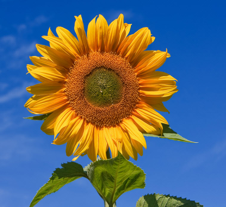 big yellow sunflower seeds leaves blue sky