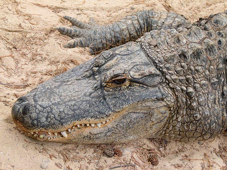 alligator head on sand