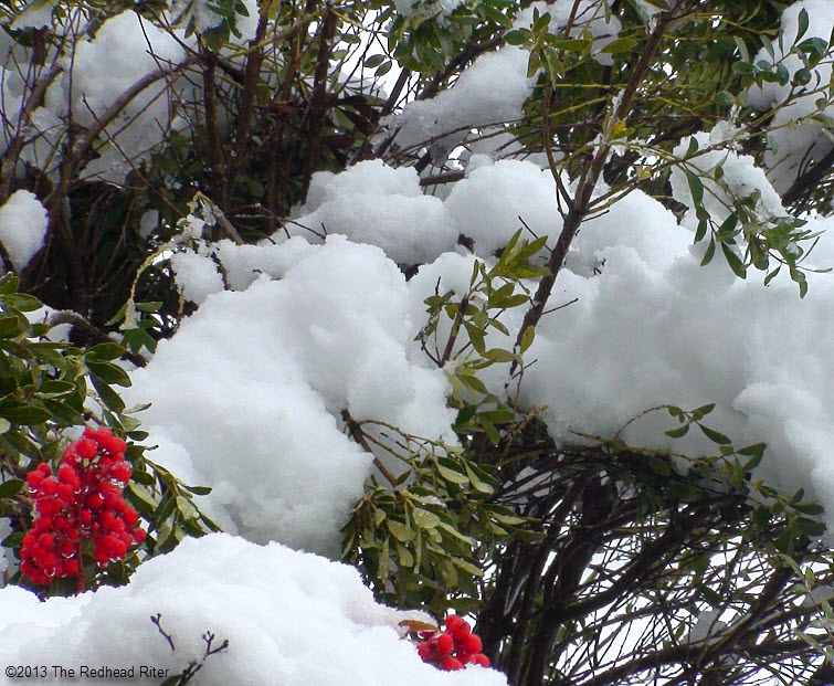 red berry bushes in snow
