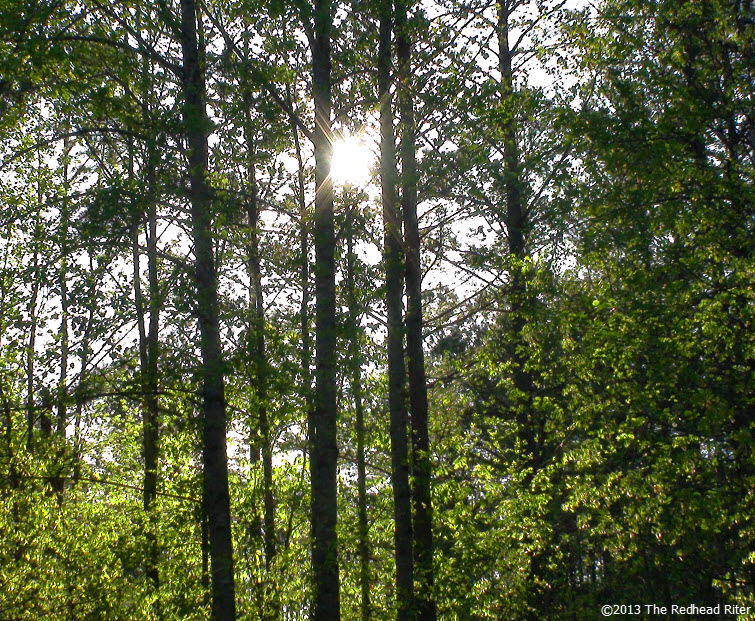 green forest tall trees sunshine