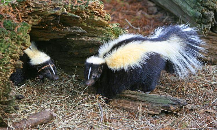 skunks natural black and white