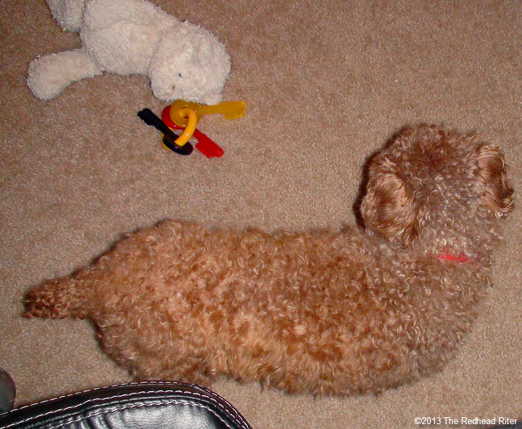red toy poodle after grooming