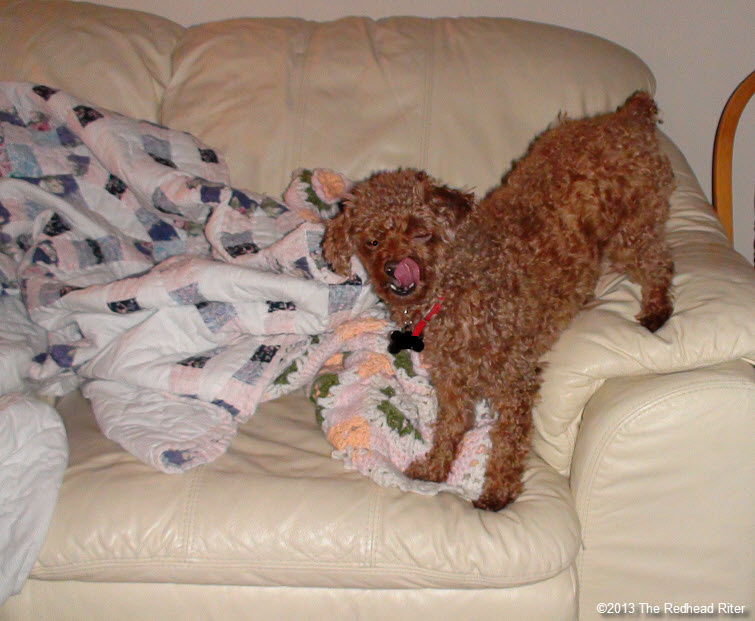 red toy poodle on couch after grooming2