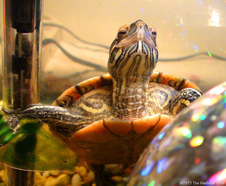 Turtle Western Painted Turtle 7