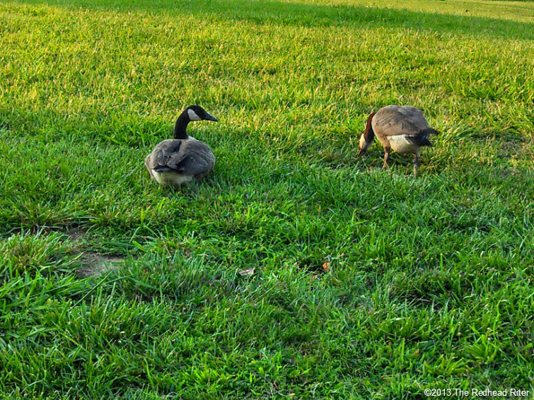geese in green  field, relax life takes time