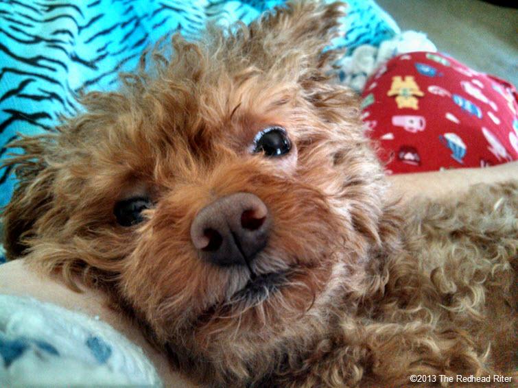 bella red toy poodle friend 1