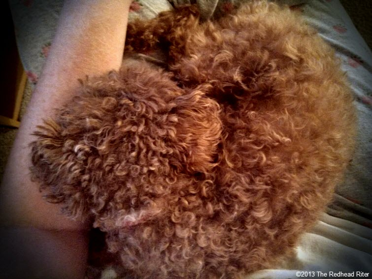 lapdog red toy poodle in lap