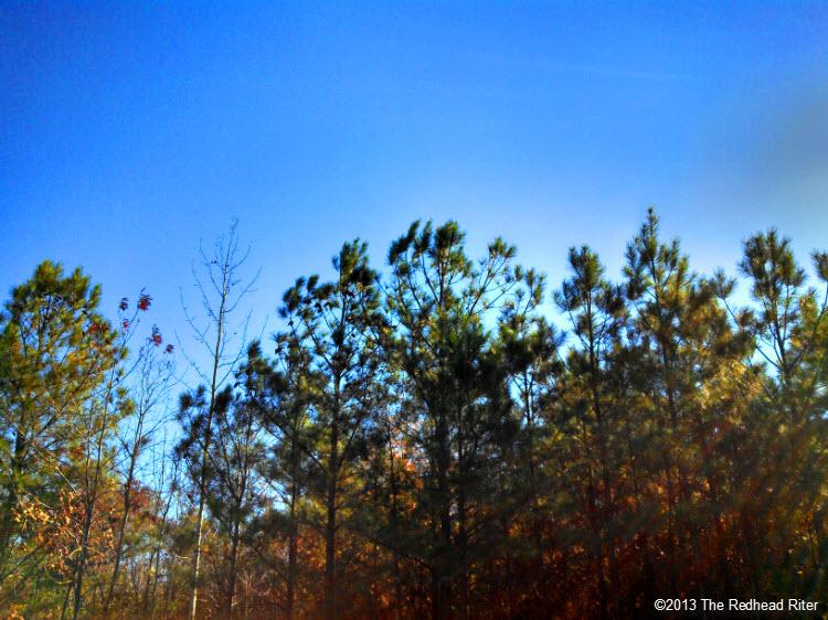 pine trees blue sky sunshine 1