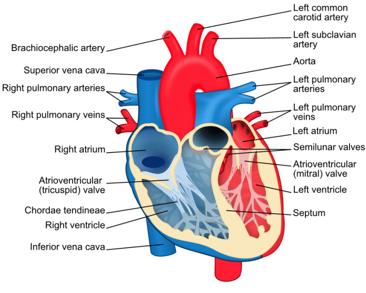 heart diagram parts labeled