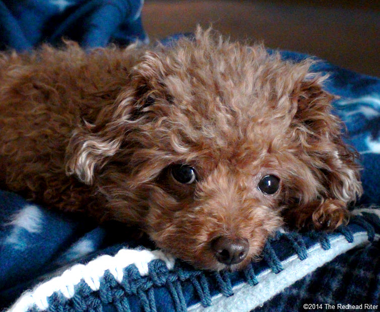 Bella red toy poodle adorably cute